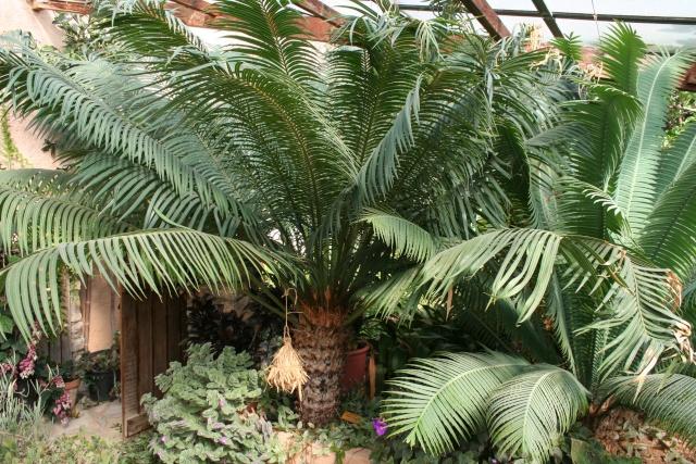 Visite d'un jardin extraordinaire Cycas_10