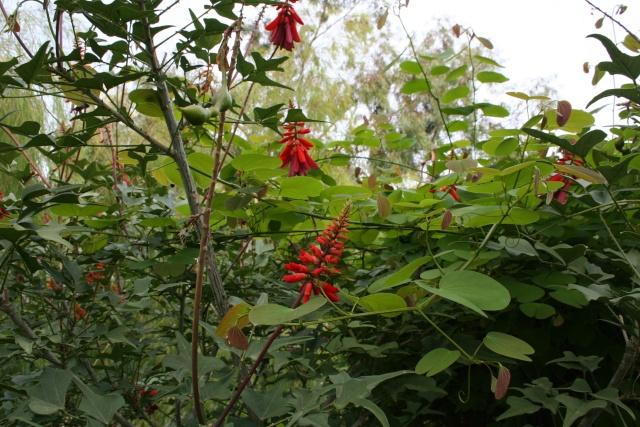 Visite d'un jardin extraordinaire Erythr10
