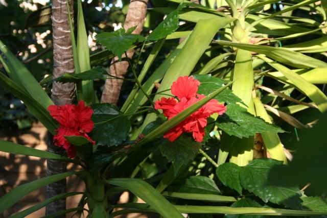 Ce matin , petit tour de jardin Hibisc14