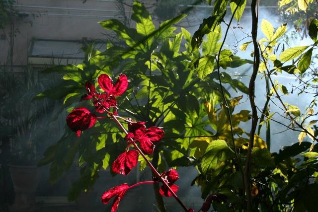 Strelitzia reginae, première fleur de la saison Iresin10