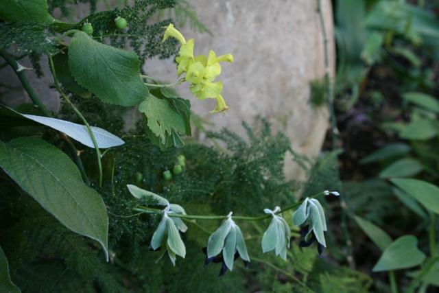 Strelitzia reginae, première fleur de la saison Salvia12