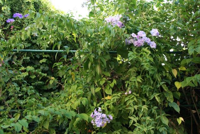 Ce matin , petit tour de jardin Solanu10