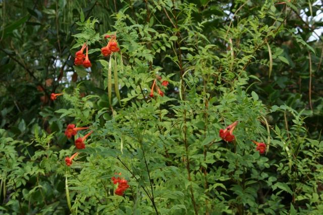 Visite d'un jardin extraordinaire Tecoma10