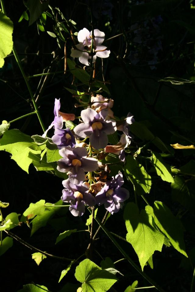 Ce matin , petit tour de jardin Thunbe11