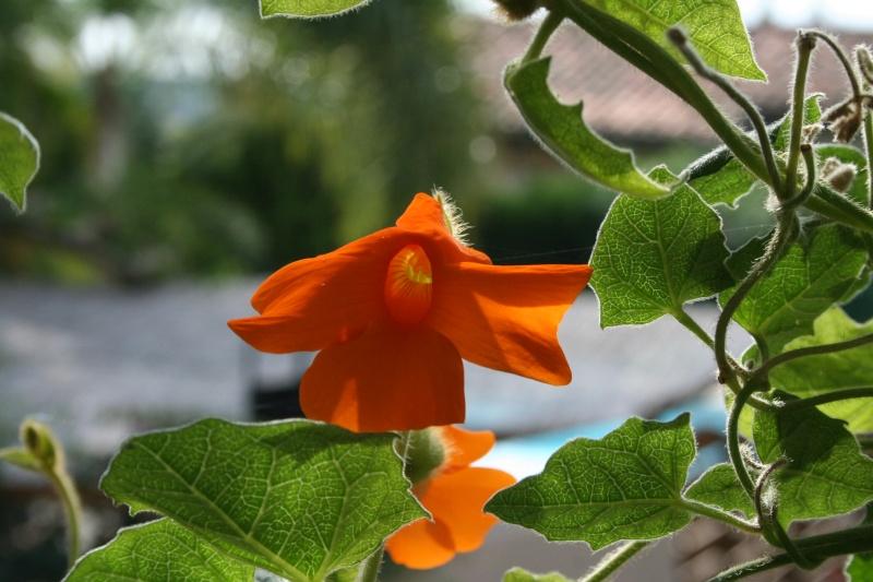 Visite d'un jardin extraordinaire Thunbe12