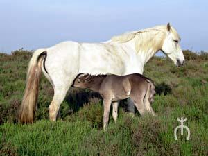 Le cheval de Camargue Camarg11