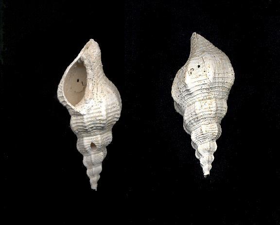 [résolu]Clavilithes (Rhopalithes) rugosus (Lamarck, 1803) 311