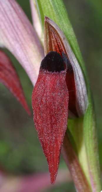 Serapias gregaria/strictiflora ( Sérapias à fleurs raides ) Serapi10