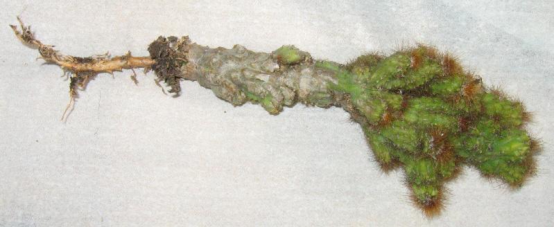Cereus peruvianus monstruosus Img_2310