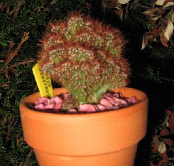 Cereus peruvianus monstruosus Img_2313