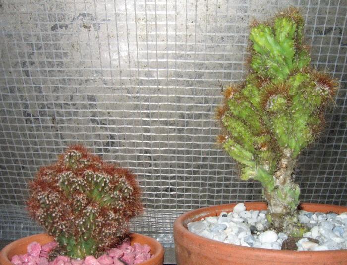Cereus peruvianus monstruosus Img_2315