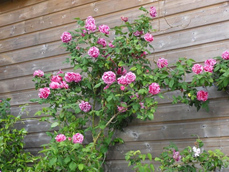 Floraisons du mois de juin Sdc16614