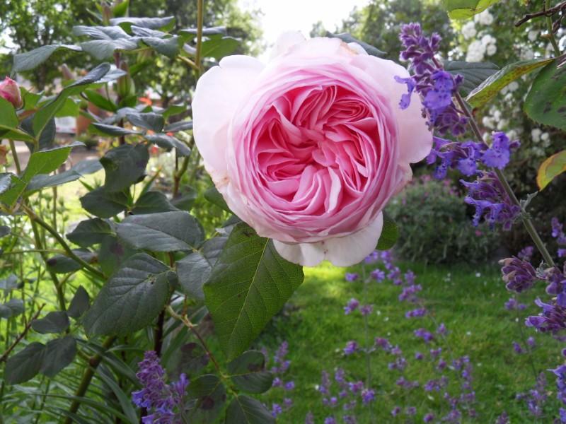 Floraisons du mois de juin Sdc16726