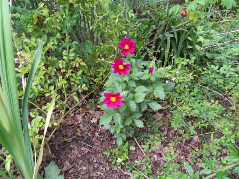 Les dahlias. Photos et disscusions. Sdc17511