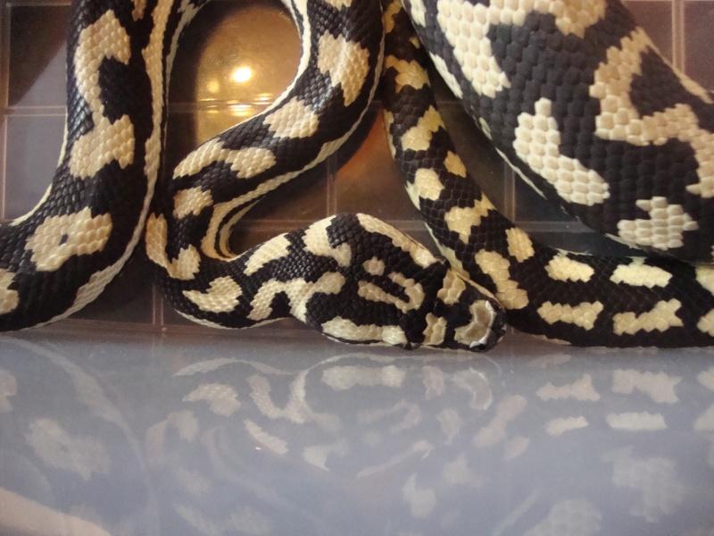 Cheynei femelle Dsc01515