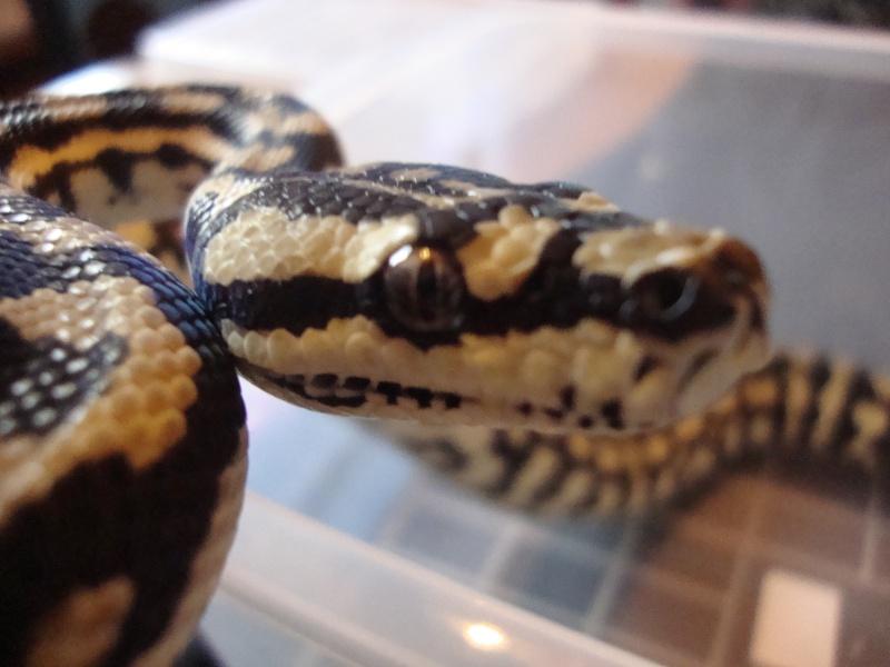 Cheynei femelle Dsc01516