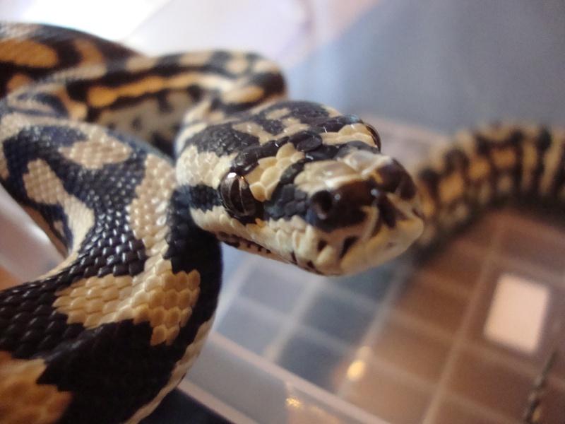 Cheynei femelle Dsc01517