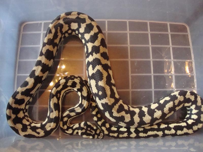 Cheynei femelle Dsc01518