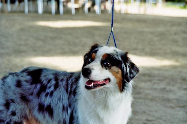Régionale d'élevage Berger Australien à Sendets 16/09/07 - Page 5 Imm01110