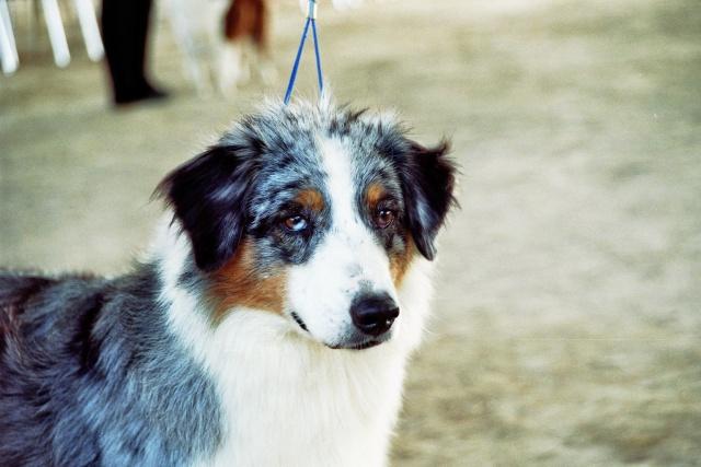Régionale d'élevage Berger Australien à Sendets 16/09/07 - Page 5 Imm02010