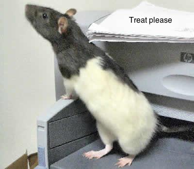 Vous aimez les rats ? Lolz_r10