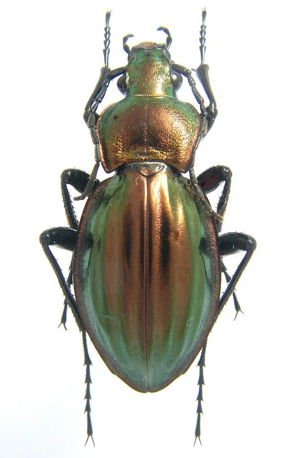 [C.(Tachypus) auratus] pattes + antennes + palpes noirs Auratu10