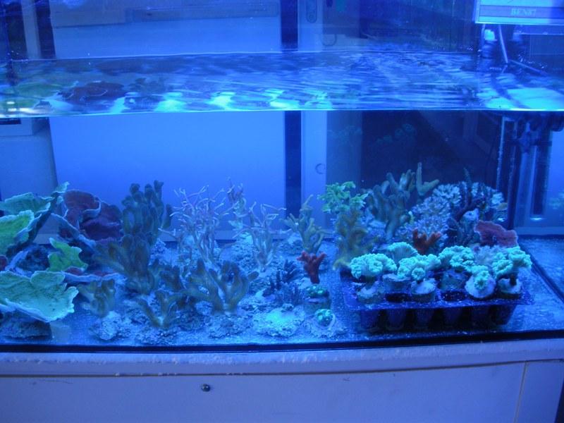bourse aux boutures de coraux de limoges  - Page 2 Ben8710