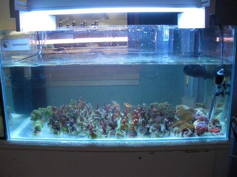 bourse aux boutures de coraux de limoges  - Page 2 Leonar10