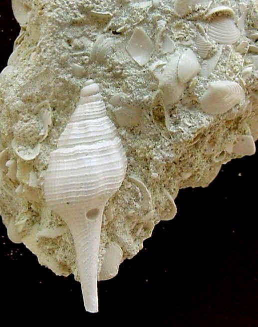 [résolu]Clavilithes (s.str.) scalaris (Lamarck, 1816), juvénile Guepel10