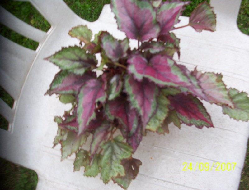 begonias Photo_12