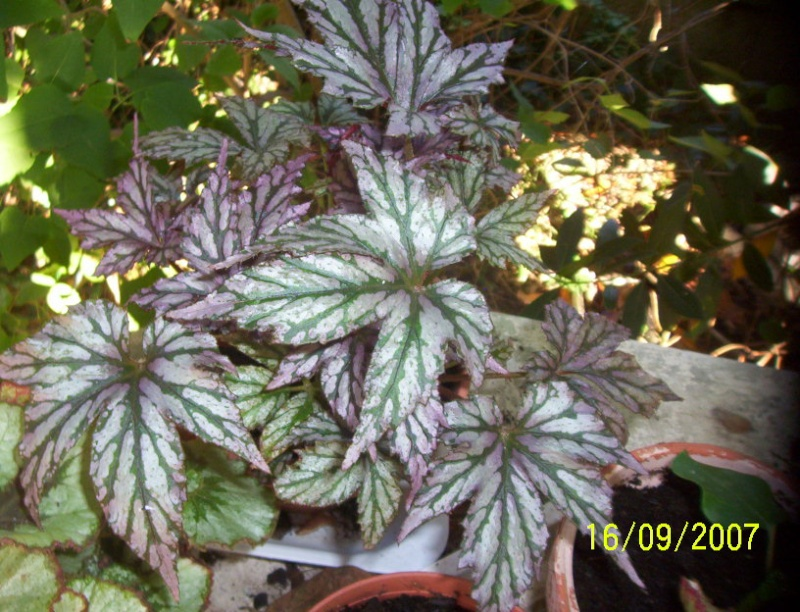 begonias Photo_13