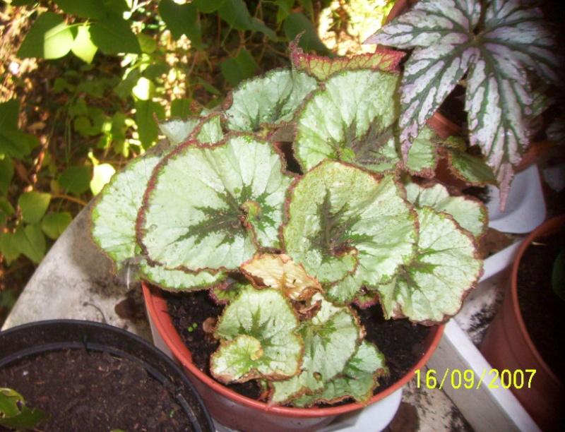 begonias Photo_14