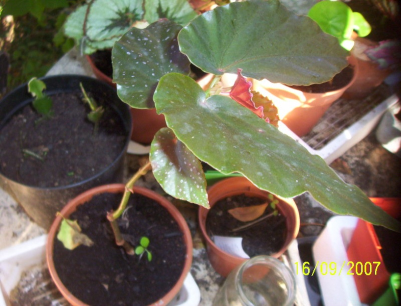 begonias Photo_15