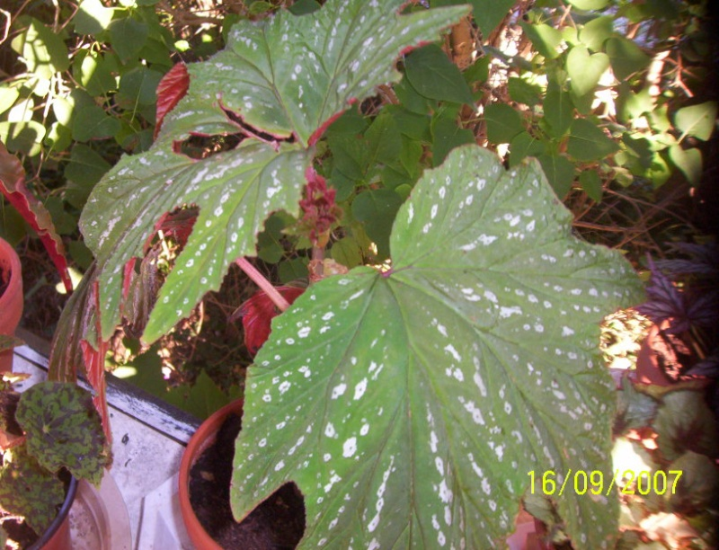 begonias Photo_16