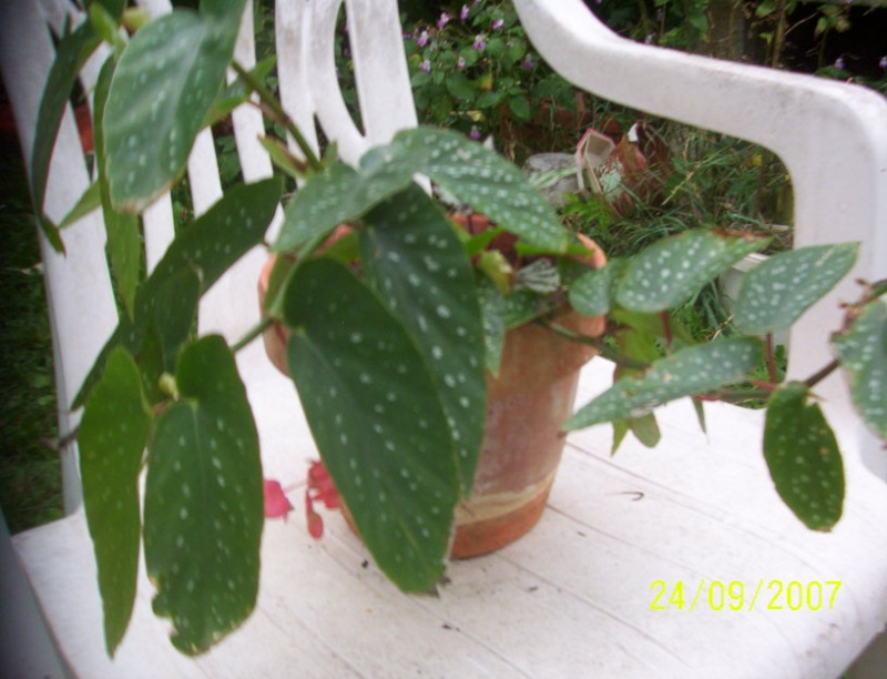 begonias Photo_18