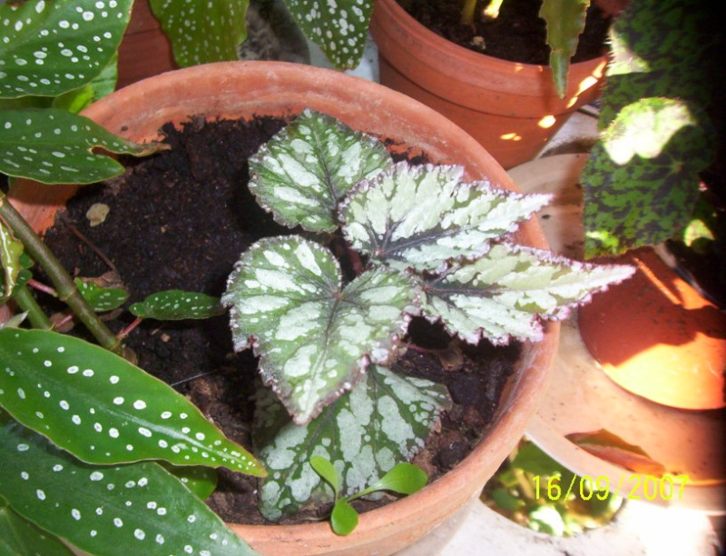 begonias Photo_19