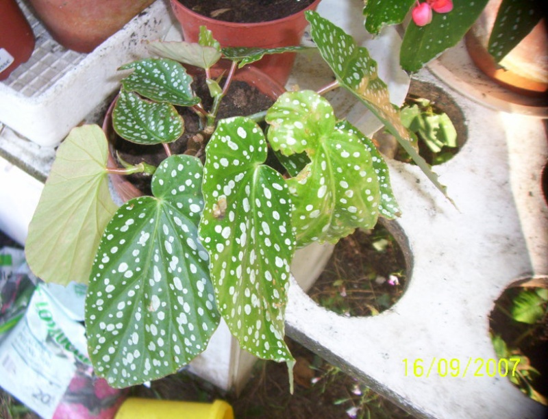 begonias Photo_20