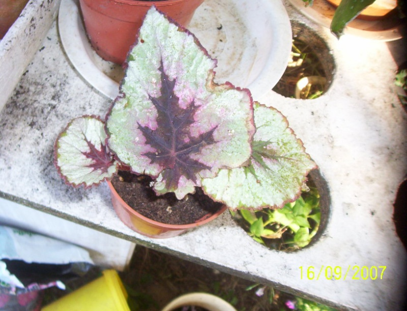 begonias Photo_21