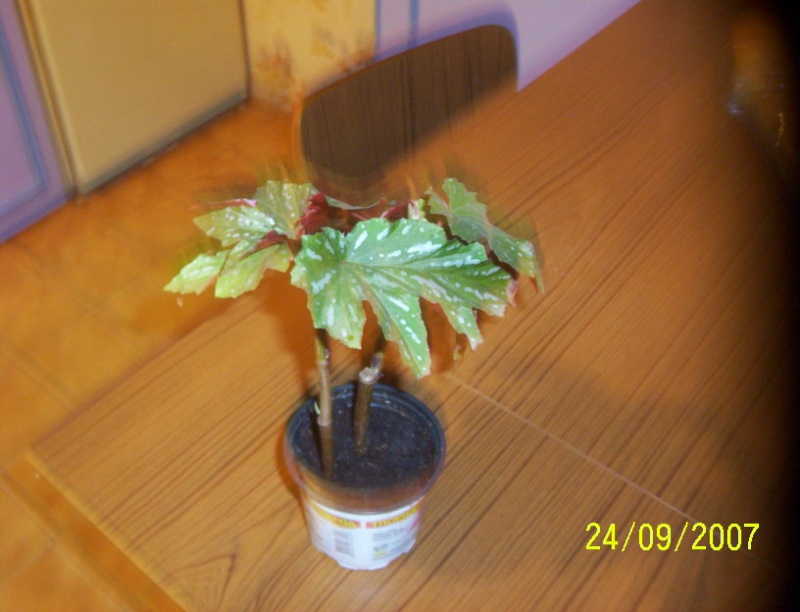 begonias Photo_26