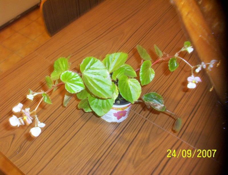 begonias Photo_27