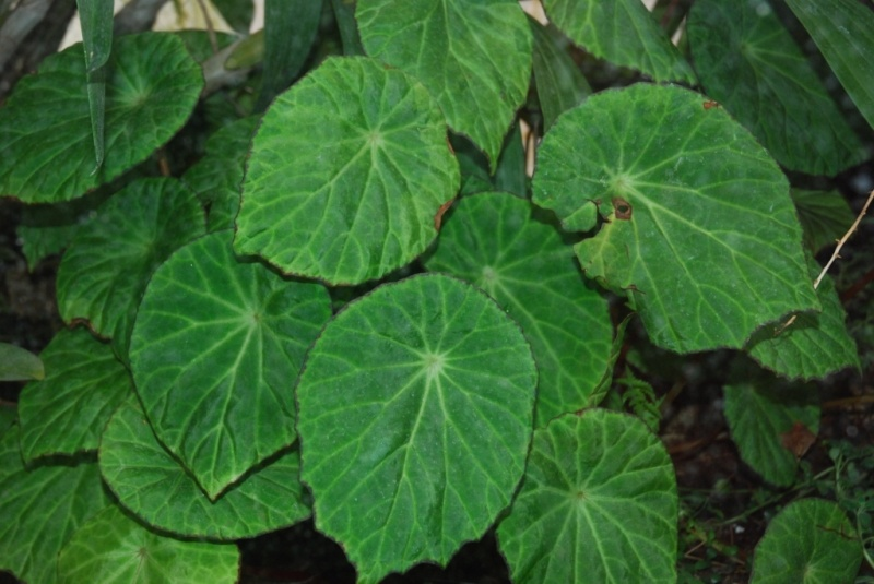 B. scapigera* Dsc_0011