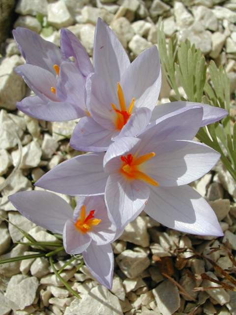 Crocus cancellatus ssp cancellatus Crocus15