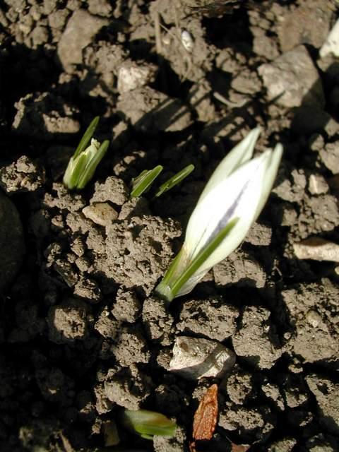 Crocus cancellatus ssp cancellatus Crocus16