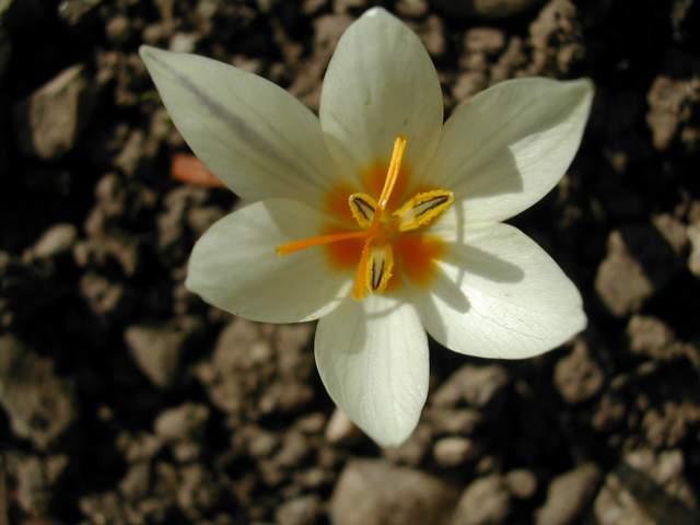 Crocus cancellatus ssp cancellatus Crocus17