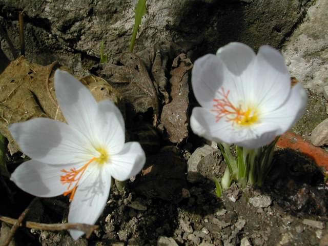 Crocus speciosus et Crocus tournefortii Dscn7722