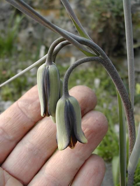 baytopiorum - Colchicum baytopiorum Fritil10