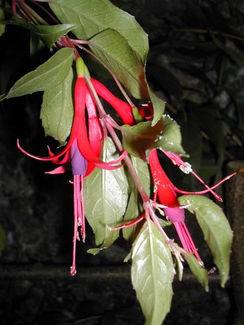 Fuchsia regia-retzii Fuchsi10
