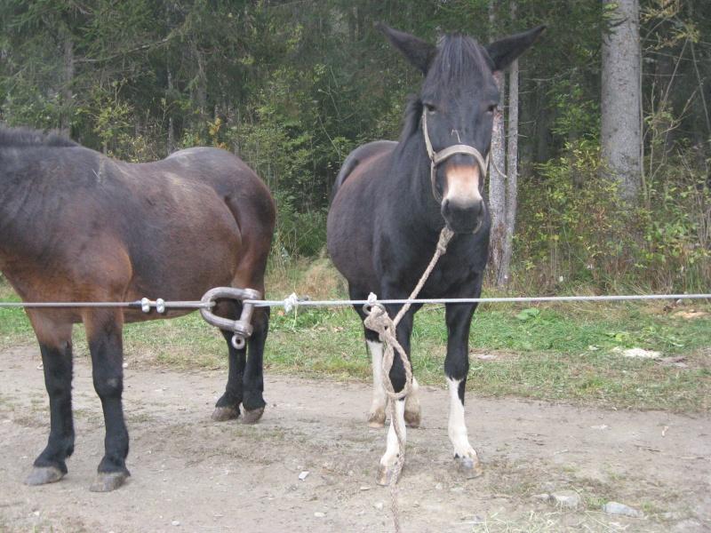 Contamines-Montjoie 2010 - Rencontre des muletiers... et de leurs mules - Page 2 Img_0015