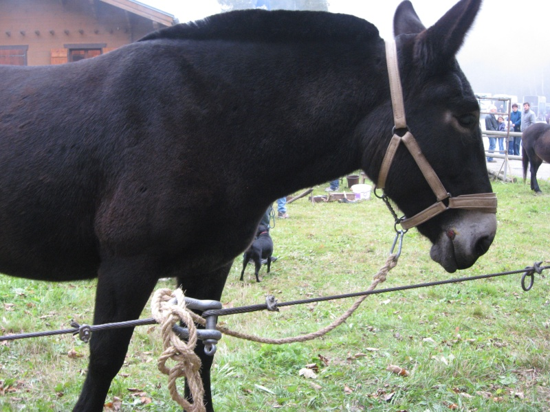 Contamines-Montjoie 2010 - Rencontre des muletiers... et de leurs mules - Page 2 Img_0017