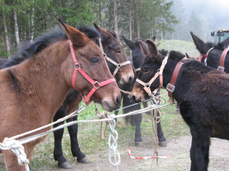 Contamines-Montjoie 2010 - Rencontre des muletiers... et de leurs mules - Page 2 Img_0019